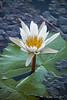 Water-lily-4
