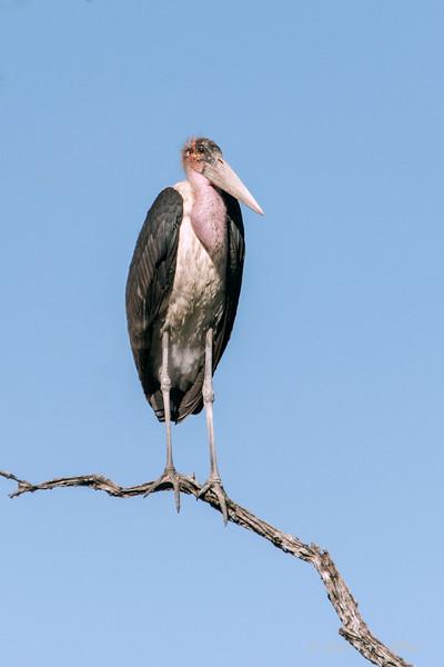 Marabou-stork-2