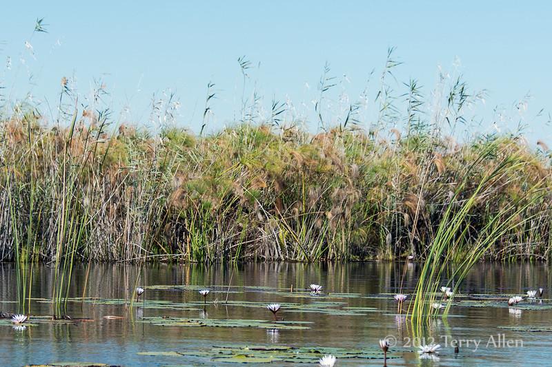 Okavango-water-lillies-&-grasses-2