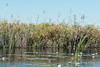Okavango-water-lillies-&-grasses-2