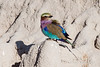 Lilac-breasted-roller-5