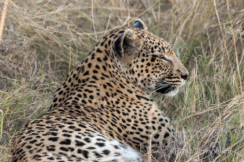 Leopard-resting-after-kill-1