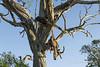 Leopard-kill,-impala-carcass