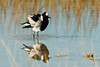 Blacksmith-lapwing-bathing