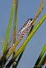 Painted-reed-frog