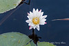 Water-lily-8