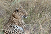 Leopard-resting-after-kill-2