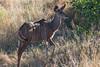 Baby-kudu