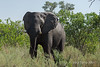 Aggressive-elephant-1