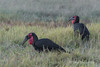 Ground-hornbills