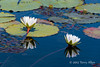 Water-lily-9