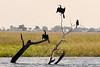 Anhingas-(African-darter)-at-sunset