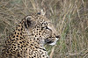 Leopard-resting-after-kill-3