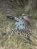 Leopard-stuffed-from-kill-2