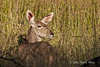 Kudu-in-tall-grass