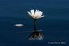 Water-lily-12