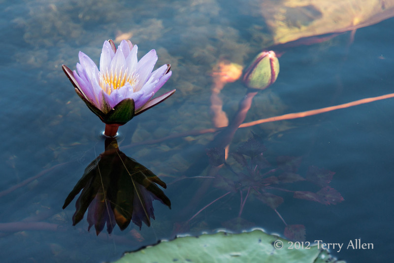 Water-lily-11