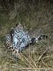 Leopard-stuffed-from-kill-4
