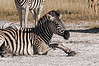 Zebra-starting-to-stand-up-1