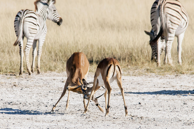 Impala-bucks-facing-off-3