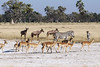 Zebras, impalas & topis at salt pan