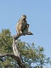Baboon-at-top-of-tree-1