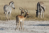 Impalas and zebras