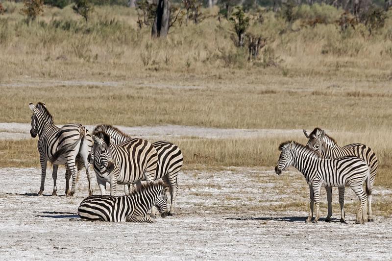 Zebras-at-salt-pan-2