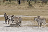 Zebras-at-salt-pan-2