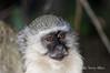 Vervet-monkey-3