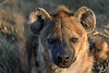 Spotted-hyena-female-1