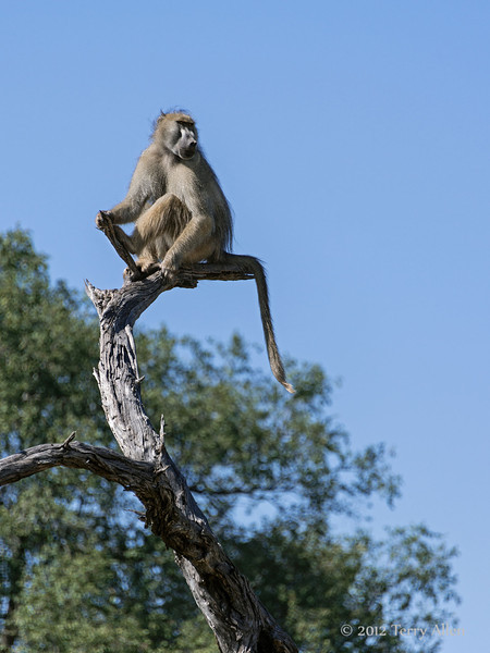 Dominant-baboon-3