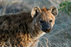 Spotted-hyena-female-2