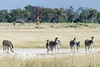 Okavango-salt-pan-4,-zebras-&-colts