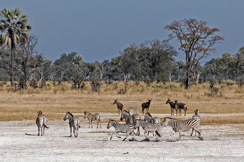 Zebra-agression