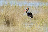 Saddlebilled-stork-3