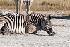 Zebra-starting-to-stand-up-2