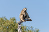 Baboon-at-top-of-tree-3