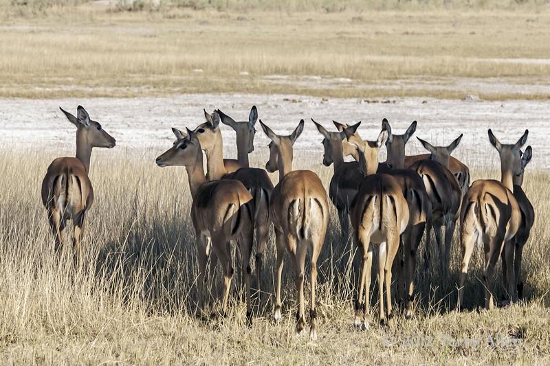 Impala-herd-at-sunset