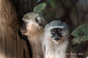 Vervet-monkey-pair