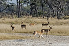 Impalas-at-salt-pan