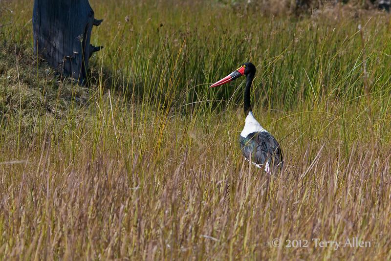 Saddlebilled-stork