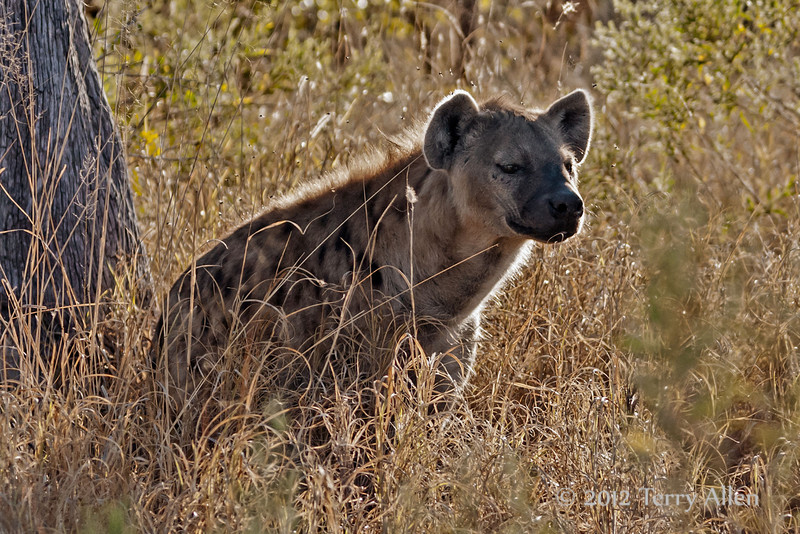 Spotted-hyena-female-3