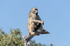 Baboon-at-top-of-tree-2