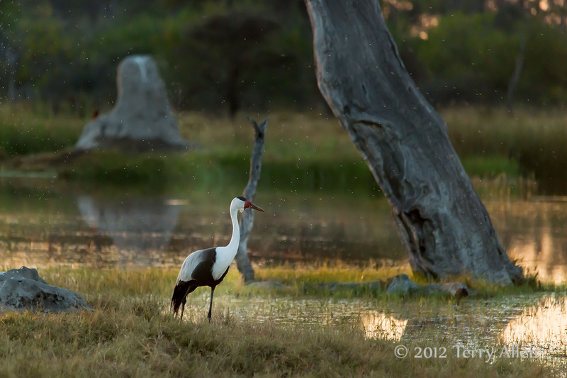 Whattled crane-with-insects-at-sunset