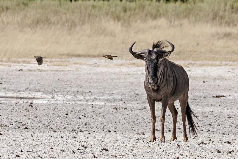 Blue-wildebeest-with-flying-tick-birds