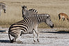 Zebra-starting-to-stand-up-3