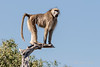 Baboon-at-top-of-tree-4