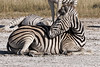 Zebra-resting-on-s alt-pa