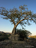 Boabob-tree-at-sunset,-Epupa-Falls,-Namibia